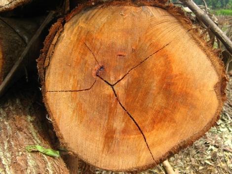 penampang kayu