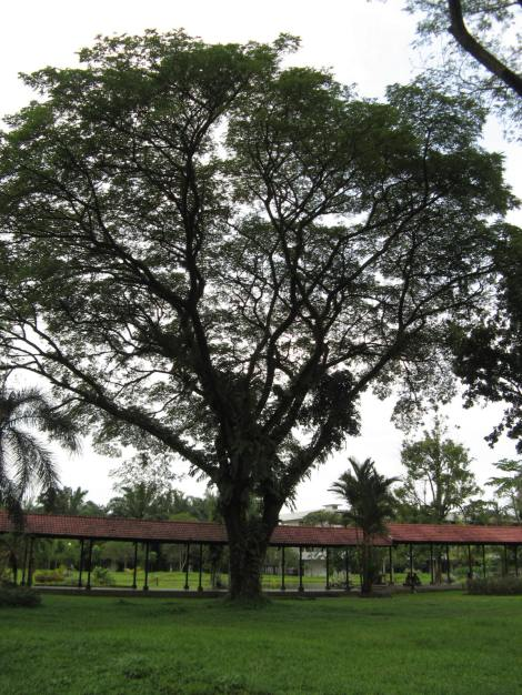 Pohon Trembesi / Ki Hujan (Albizia saman)