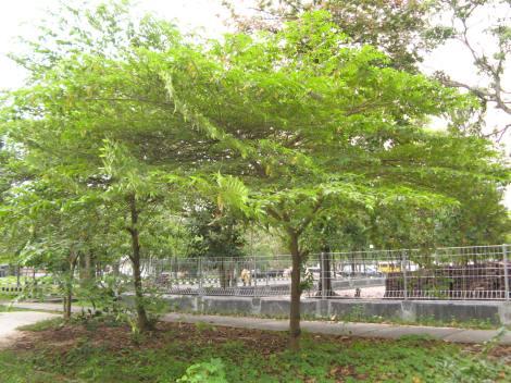 Kersen (Muntingia calabura L.)