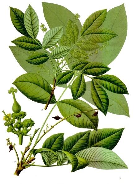 Kesambi (Schleichera oleosa)