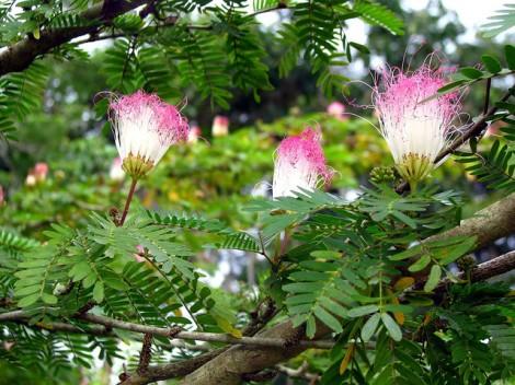 Bunga Trembesi