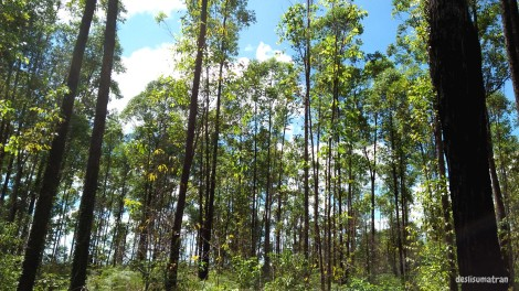 htipulpeucalyptus001